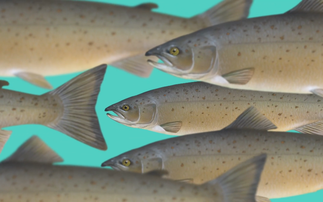 Saving the farmed salmon with ANIMA