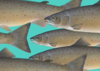 Saving the farmed salmon with ANIMA